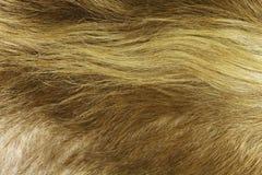 De gouden Achtergrond van de Koehuid Royalty-vrije Stock Afbeelding