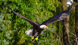 De gouden adelaar vliegt stock afbeeldingen