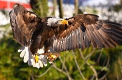 De gouden adelaar vliegt stock afbeelding