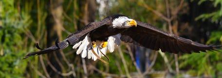 De gouden adelaar vliegt royalty-vrije stock foto