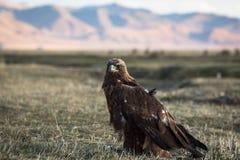 De gouden adelaar zit op land in de Mongoolse steppe nave royalty-vrije stock fotografie
