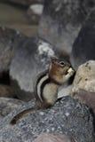 De gouden-bedekte Eekhoorn van de Grond Royalty-vrije Stock Afbeeldingen