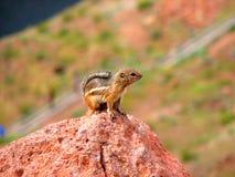 De gouden-bedekte Eekhoorn van de Grond Stock Fotografie