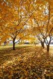 De gouden bladeren in het vierkant Stock Afbeelding