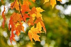 De gouden bladeren van de de herfstesdoorn Stock Foto's