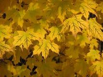 De gouden Bladeren van de Esdoorn Royalty-vrije Stock Foto's