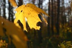 De gouden bladeren van de de herfstesdoorn stock afbeeldingen