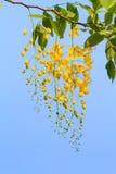 De gouden bloemen van de doucheboom royalty-vrije stock fotografie