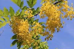 De gouden bloemen van de doucheboom Royalty-vrije Stock Afbeeldingen