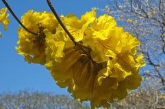 De gouden bloemen van de Trompetboom stock foto's