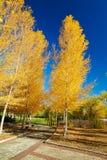 De gouden bomen en bule de hemel stock foto's