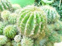 De gouden Cactus van de Bal Royalty-vrije Stock Afbeeldingen