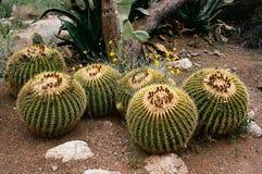 De gouden Cactus van het Vat royalty-vrije stock fotografie