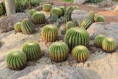 De gouden Cactus van het Vat Royalty-vrije Stock Foto