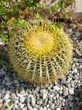De gouden Cactus van het Vat stock fotografie