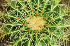 De gouden Cactus van het Vat (Mila SP.) in dichte omhooggaand Royalty-vrije Stock Afbeeldingen