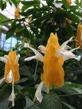 De gouden garnalen planten bloemen stock afbeelding