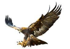 De gouden hand van de adelaars vliegende duikvlucht trekt vector Royalty-vrije Stock Afbeelding