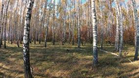 De gouden herfst in een berkbosje op een duidelijke dag stock footage