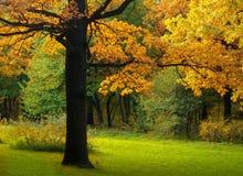 De gouden herfst in het bos Stock Foto