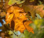 De gouden Herfst Het gele en bruine close-up van de herfstbladeren royalty-vrije stock foto
