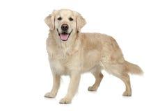 De gouden hond van de Retriever royalty-vrije stock afbeelding