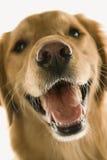 De gouden hond van de Retriever. Stock Afbeelding