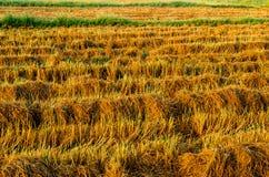 De gouden installatie van de kleurenrijst in padievelden na oogst Stock Foto