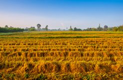 De gouden installatie van de kleurenrijst in padievelden na oogst Royalty-vrije Stock Afbeeldingen