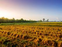 De gouden installatie van de kleurenrijst in padievelden na oogst Royalty-vrije Stock Afbeelding