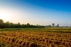De gouden installatie van de kleurenrijst in padievelden na oogst Stock Foto's