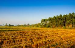 De gouden installatie van de kleurenrijst in padievelden na oogst Royalty-vrije Stock Foto