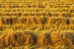 De gouden installatie van de kleurenrijst in padievelden na oogst Royalty-vrije Stock Fotografie
