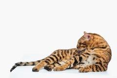 De gouden Kat van Bengalen op witte achtergrond royalty-vrije stock foto's