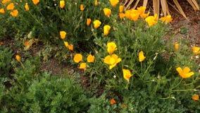 De Gouden Papavers die van Californië in Wind hierboven slingeren van stock video