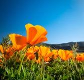 De Gouden Papavers van Californië tegen een blauwe hemel Royalty-vrije Stock Afbeeldingen