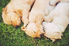 De gouden puppy van de Retriever Stock Afbeeldingen