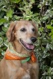 De gouden retriever van de hond Royalty-vrije Stock Afbeelding