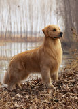 De Gouden Retriever van het huisdier van de hond stock foto's