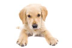 De Gouden Retriever van het puppy Royalty-vrije Stock Afbeeldingen