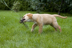 De Gouden Retriever van het puppy Royalty-vrije Stock Fotografie