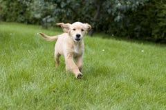 De Gouden Retriever van het puppy Stock Foto's