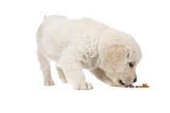De Gouden Retriever van het puppy Stock Afbeelding