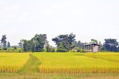 De gouden rijst die is geplante proper en klaar te oogsten schitteren royalty-vrije stock foto