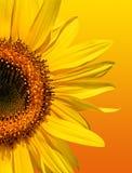 De gouden Schoonheid van de Zonnebloem Royalty-vrije Stock Foto