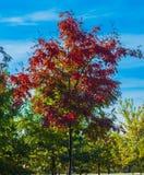 De gouden takken van de de herfst wilde lijsterbes Rode herfstbladeren op de blauwe hemelachtergrond Stock Fotografie