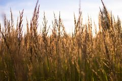 De gouden tarwe groeit op het gebied in de heldere zon Mooie gele rogge tegen de Zonnige hemel royalty-vrije stock foto's