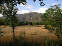 De gouden tarwe organische landbouw Himalayagebergte India stock fotografie