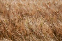 De gouden tarwearen in de wind stock fotografie