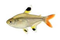 De gouden van de maxillarisröntgenstraal van pristella tetrapristella tetradievissen op wit worden geïsoleerd Royalty-vrije Stock Foto's